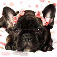 A Very Stylish French Bulldog Princess.  Limited Edition French Bulldog Tee http://teespring.com/lovefrenchbulldogs