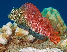 goby fish saltwater | ... Exallias brevis tropical fish photo from Tropical Fish and Aquariums