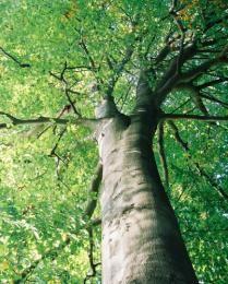 De Eikenboom