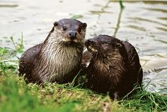 Baby otter takes the plunge at Lingfield British Wildlife Centre