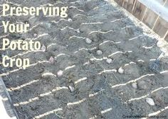 Did you grow potatoes this year? Here are some tips for preserving potatoes.