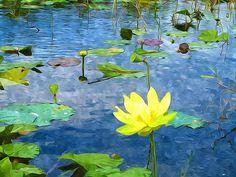 Lotus Pond, Clark Art, Lotus Flowers, Lily Pond, Framed Prints, Canvas Prints, New Print, Ponds, Great Gifts