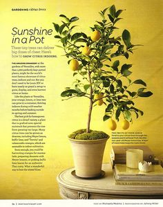 Indoor citrus trees and other dwarf fruit trees are great houseplants that can brighten up a room during the cold winter months. Dwarf fruit trees produce edible fruit and are typically easy to grow. Check out five common indoor fruit trees here. Vegetable Garden, Garden Plants, Indoor Plants, Indoor Trees, Potted Plants, Tree Garden, Indoor Outdoor, Patio Trees, Indoor Flowers