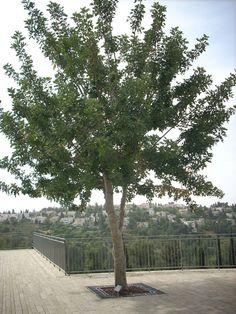 The tree in honour of Jan and Johana Lipke, Yad Vashem, 2010