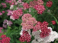 12 Seasonal Summer Wedding Flowers: Yarrow