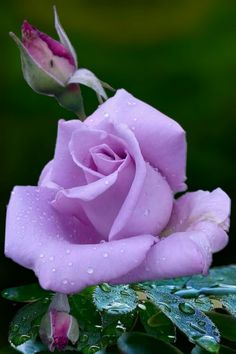 Safi rose, Purple roses Wholesale roses from eagle-link flowers. #roses