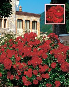 Austriana® Red Roses, Diep, Mansions, House Styles, Home Decor, Decoration Home, Manor Houses, Room Decor, Villas