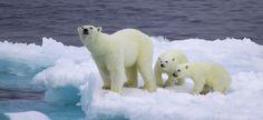 Orso bianco a rischio estinzione