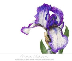 The bearded iris may not flower for long but it makes a HUGE impact!