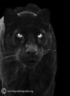 """The mystical black leopard"" by bigcatphotos UK"