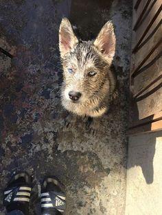 Siberian Husky puppy mud fun!