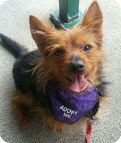 Bridgeton, MO - Yorkie, Yorkshire Terrier/Australian Terrier Mix. Meet Scrappy, a dog for adoption. http://www.adoptapet.com/pet/9807707-bridgeton-missouri-yorkie-yorkshire-terrier-mix