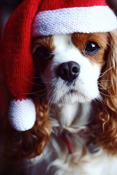 Cavalier King Charles, King Charles Spaniel, Christmas Puppy, Christmas Animals, Merry Christmas, Christmas Morning, Christmas Ornament, Baby Dogs, Pet Dogs