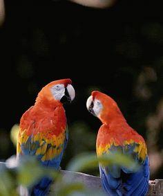 Sweet Lovebirds by Philomina minj - Google+..