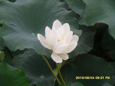 무안 백련지 연꽃
