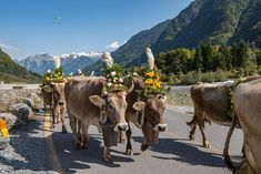 Free Image on Pixabay - Alpine, Désalpe, Descent, Cows Free Pictures, Free Images, Coat Of Many Colors, Free Online Jigsaw Puzzles, Autumn Nature, Livestock, Nature Photos, High Quality Images, Colours