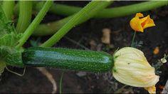 gambar buah zukini