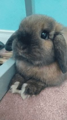 Nonstop Sniffin (Holland Lop Bunny) http://ift.tt/2rpRlcL