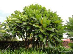 Meryta sinclairii (Puka) - evergreen tree native to New Zealand - grows to Garden Yard Ideas, Garden Trees, Garden Plants, Garden Landscaping, Landscaping Design, Flora Garden, Tropical Garden, Landscape Design Small, Garden On A Hill
