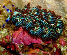 Blue Dragon - Pteraeolidia ianthina