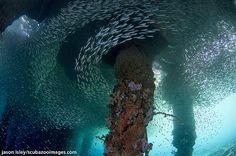 Silversides under jetty - Wakatobi National Park, a marine national park, south of Sulawesi, Indonesia. The name Wakatobi is an acronym of the four main Tukangbesi Islands: Wangi-wangi, Kaledupa, Tomia, and Binongko.