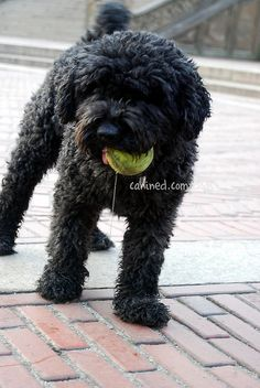 Puli with a short haircut - this is what my puli looks like now. Strangers always ask me if he is a puppy - I guess because pulis have those adorable puppy-dog eyes! Photo from  canined.com dog pictures, via Flickr