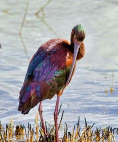 White-faced Ibis (Plegadis chihi) found in Central and Western North America Kinds Of Birds, All Birds, Birds Of Prey, Pretty Birds, Beautiful Birds, Animals Beautiful, Exotic Birds, Colorful Birds, Tropical Birds
