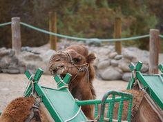 Kamele auf Gran Canaria