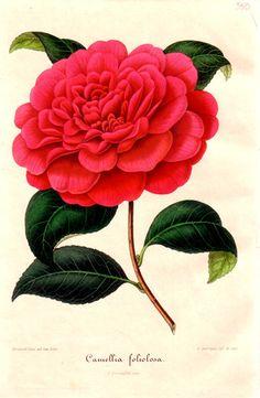 My favorite flower---Camellia. Botanical Flowers, Botanical Art, Botanical Gardens, Vintage Botanical Prints, Botanical Drawings, Art Floral, Illustration Blume, Vintage Flowers, Flower Art