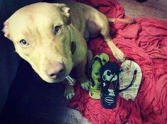 E a coleção dela só aumenta... #ratooucachorro #akira #pitbull #pitbulllove #pitbullsofig #pitbulladvocate #pitbullsofinstagram #instadog #dog #coleçãohavaianas #havainasaslegitimas #havaianas } Photo : http://bit.ly/1pLy6sS