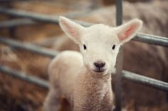 This sweet newborn lamb will melt your heart into a giant puddle.