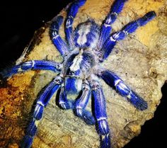 Poecilotheria rajaei | Poecilotheria Rajaei | animals bugs or what ...