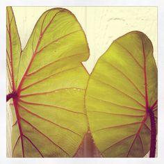 Kalo plant. #kalo #taro #hawaii