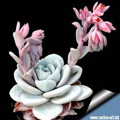 http://www.cactus-art.biz/schede/ECHEVERIA/Echeveria_lauii/Echeveria_lauii/echeveria_lauii.htm