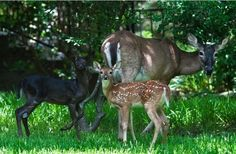 """Even rarer than albino white-tailed deer are black, or """"melanistic,"""" white-tails"""