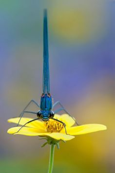 blue dragonfly  yellow flower