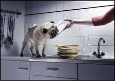 Los pugs aman ayudar con los platos sucios! | SeMeAntoja.com