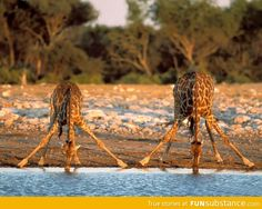 How giraffes drink water