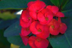 Cute round red flower bunch by Shreeharsh Ambli on 500px