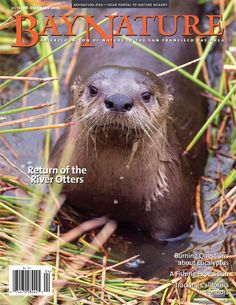 Bay Nature's Oct-Dec issue tracks river otters' remarkable comeback in the SF Bay Area!