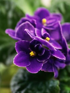 An introduction to growing African violets. Tips on how to water, feed, and keep them healthy and beautiful.