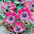 Blue eye tulips