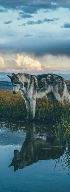 I like this picture because it shows the cool shadow of the wolf in the water. Fun fact: wolf is one of my favorite animals. Nature Animals, Animals And Pets, Cute Animals, Forest Animals, Wild Animals, Unique Animals, Funny Animals, Beautiful Creatures, Animals Beautiful