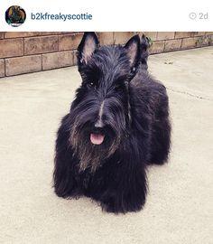 Scottish Terriers of Instagram
