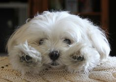 Maltese... My dog is crossed with a Maltese and a King Charles Cavalier