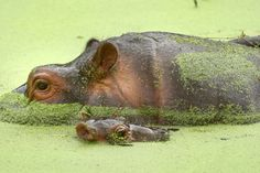Mama and baby Hippo just hanging out in the Duckweed.