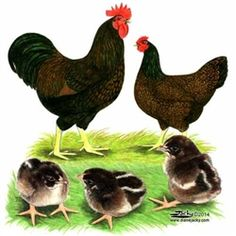 Barnevelder Chicks, Buy Barnevelder Chickens, Barnevelder Chicken Picture Images- efowl.com