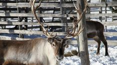 Reindeer in Pello, Lapland, Finland - Travel Pello - Lapland, Finland Geography For Kids, Finland Travel, Destinations, Lapland Finland, Lappland, Arctic Circle, Fun Activities, Reindeer, Curriculum