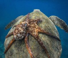 A resourceful octopus hitches a ride on a green sea turtle _____________________________________  #SavingTheWaves  Octopuses are believed to be very intelligent mimicking other species in the wild and solving complex problems.  Octopuses are well-known masters of camouflage and skillful escape artists but they aren't exactly famous for their social skills.  It has only been within the last three decades that technology has let people see octopuses' natural behaviour.  Credit : unknown…