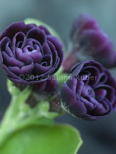 Primula Auricula 'Double Purple' | Primula auricula 'Requiem' - Double | Pinks. Purples, Silvers and Blu ...
